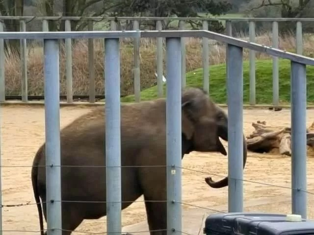 young elephant at the zoo