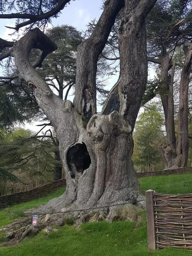 Harry Potter tree at Blenheim