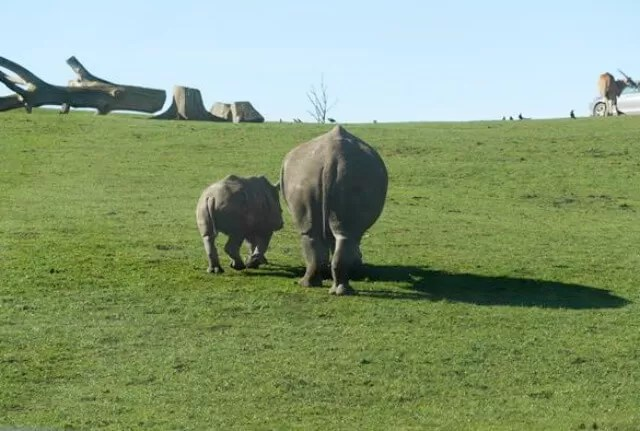 mum and baby rhino