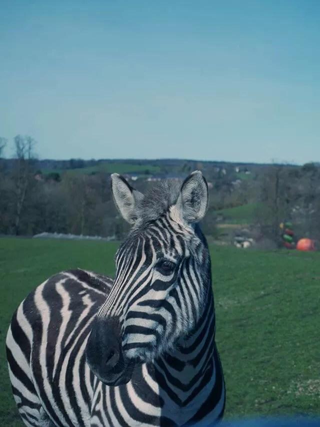 zebra at safari park