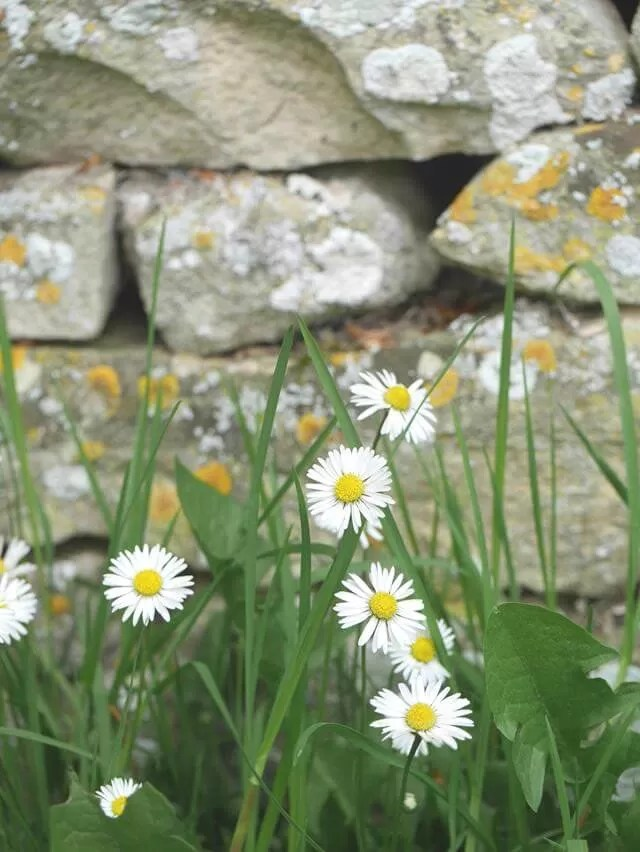 daisies in front of a wall