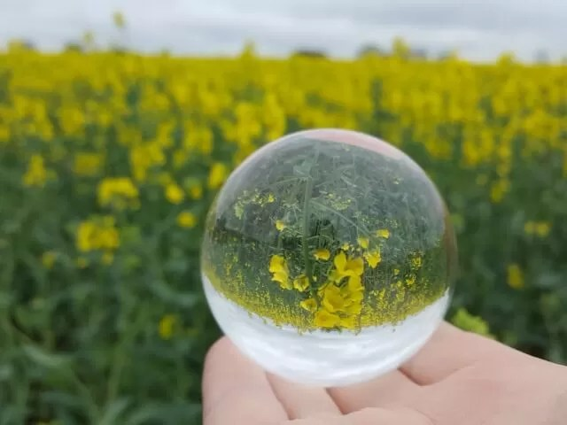rapeseed field in lensball
