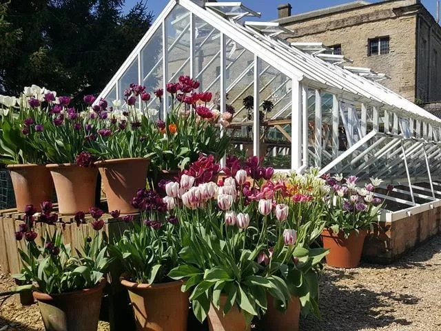 tulips and greenhouse at rousham