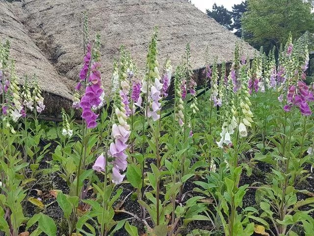 book foxglove display