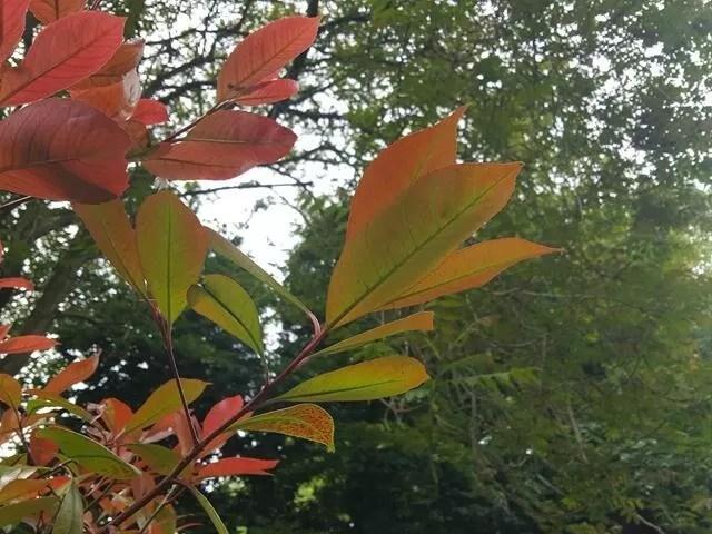 reddening leaves.