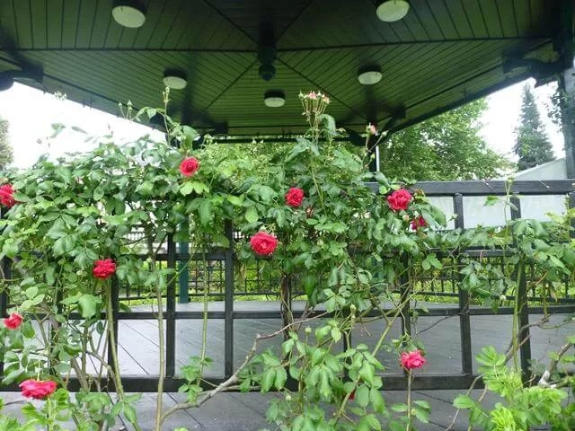 roses on the bandstand