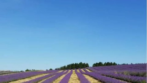 Beautiful Cotswold Lavender fields in bloom