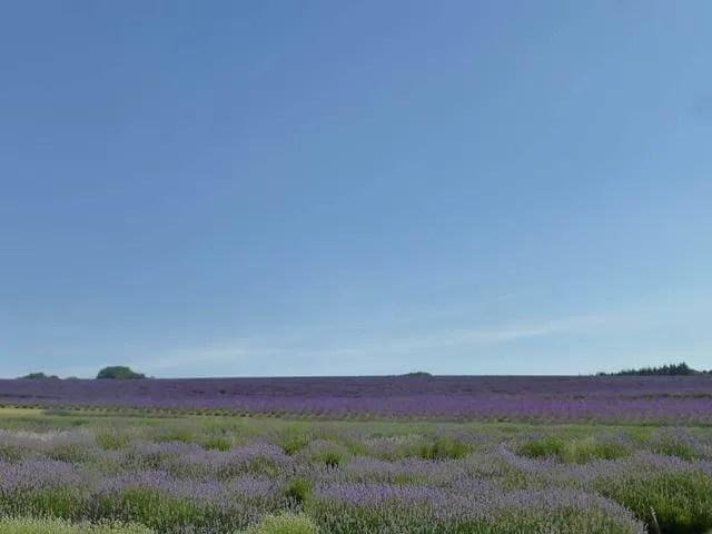 blue skies and lavender