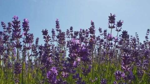 Project 52 2018 week 27 lavender