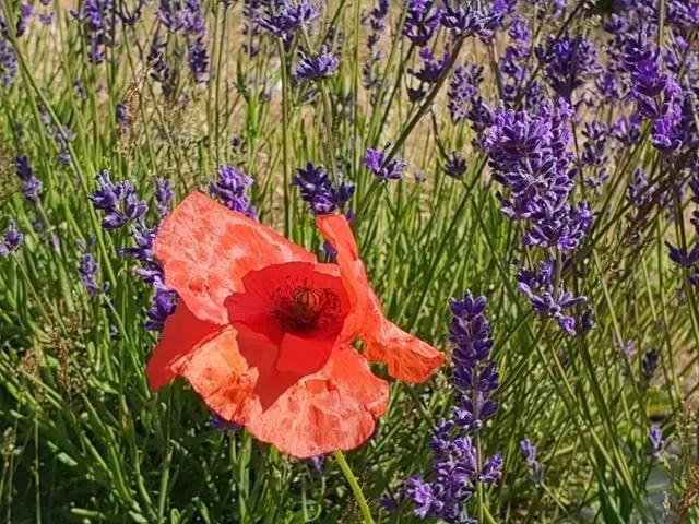 poppy in lavender