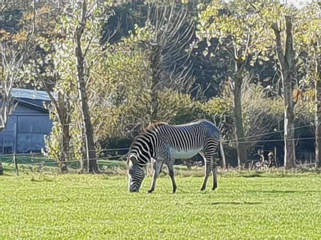 zebra at woburn