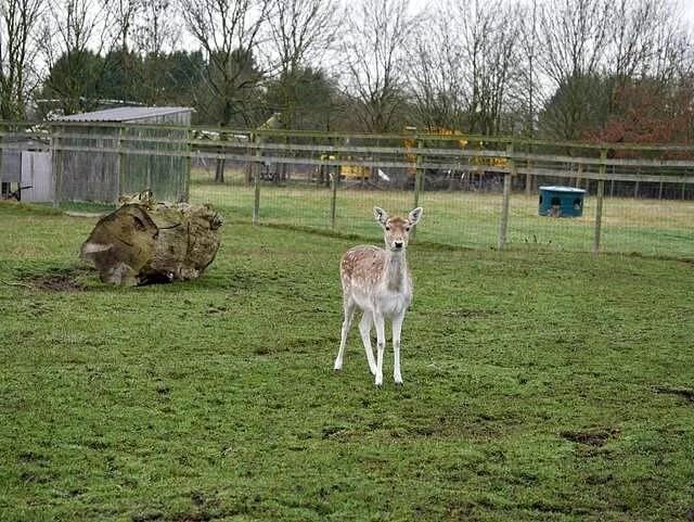 little fallow deer