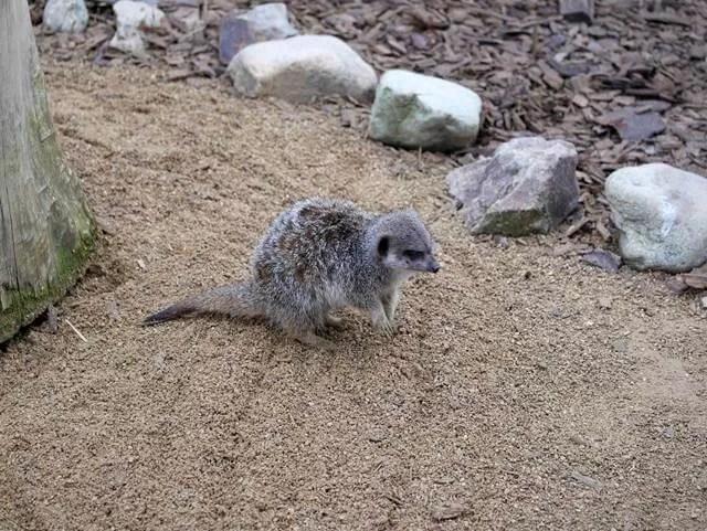 meerkat at all things wild