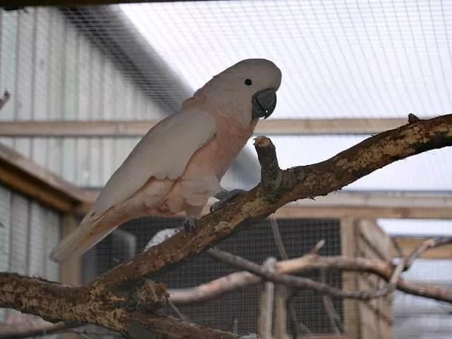 pink cockatiel