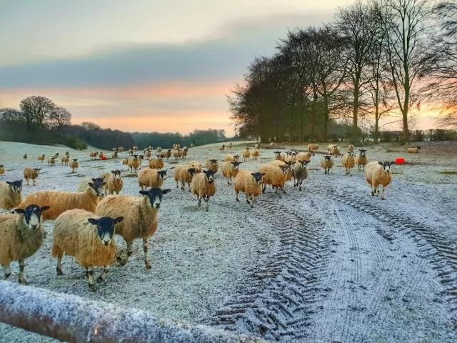 sheep in field at sunrise
