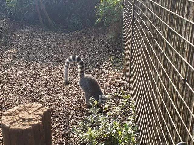 lemur with tail in the air