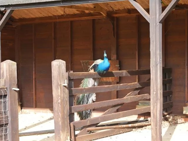 peacock in the sun