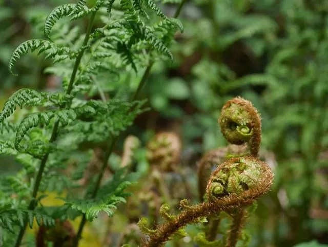 ferns in he woods