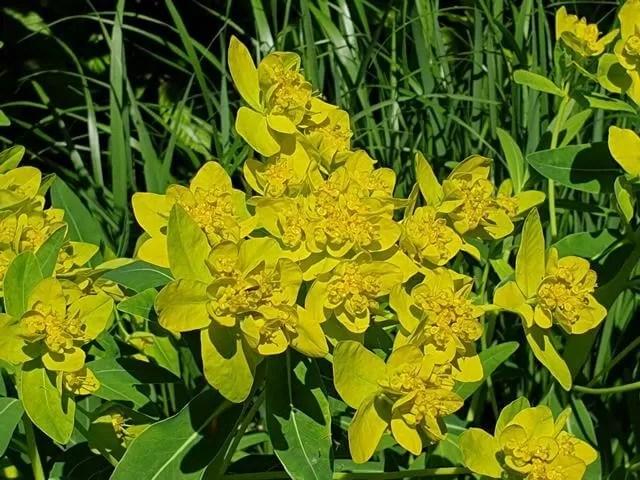 yellow flowered bush