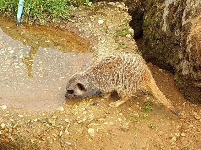 meerkat drinking from puddle