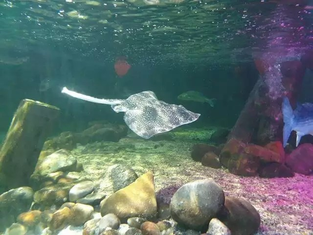 swimming ray