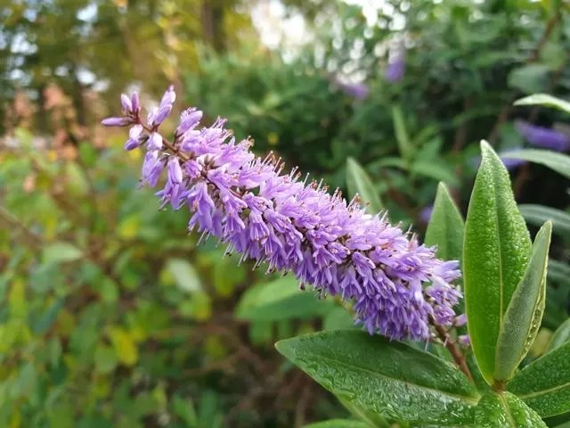 purple buddleia flower