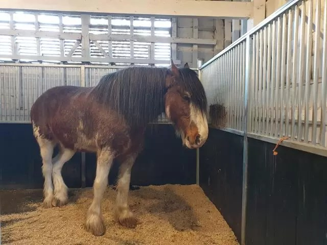Stanley the shire horse in his stable