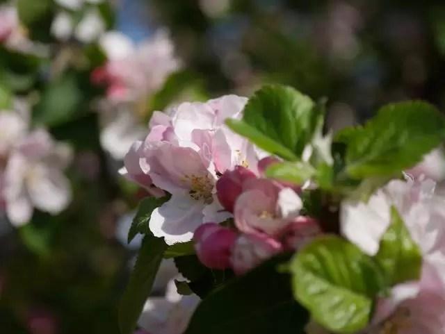 pink apple blossom flowers