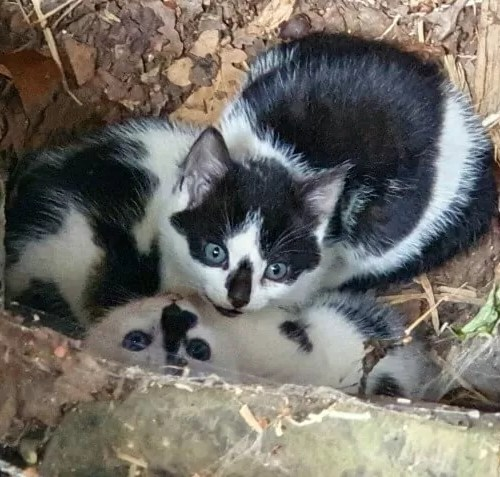 black and white farm kittens