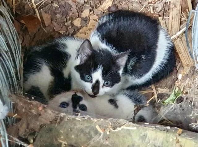 black and white farm kittens
