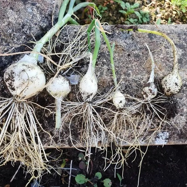 Project 52 2020 week 30 – homegrown spring onions