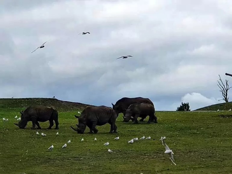 3 rhinos on grass