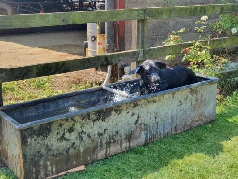 labrador in a water trough