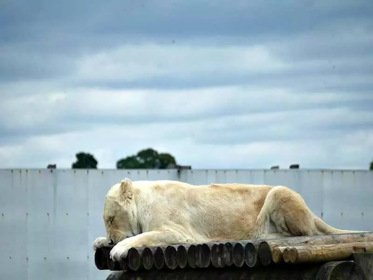 white african lion snuggled down aslweep on a platform