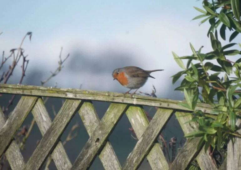 robin on top of a fence