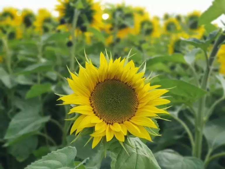 single sunflower with blurred flowers in the background