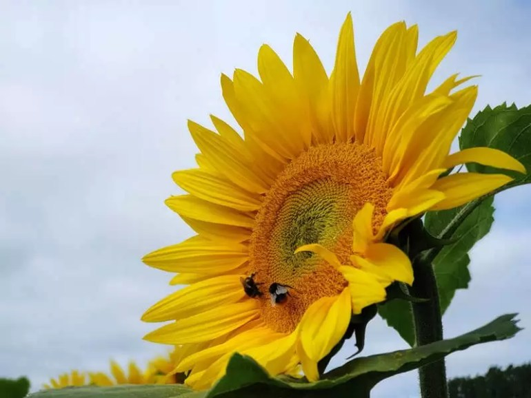 up close sunflower with bee