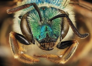 Agapostemon coloradinus