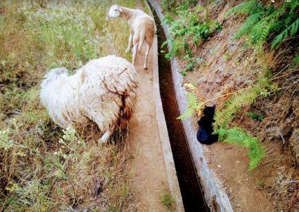 Willi pilnuje owieczek