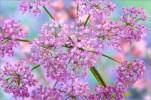 don-paulson-nahaufnahme-der-rosa-blueten-eines-behaarten-kaelberkropfs-200120