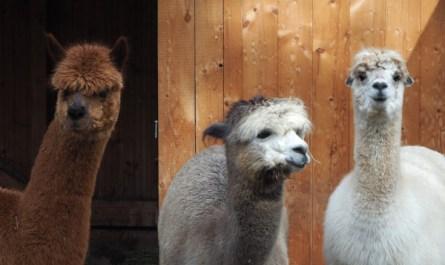 Drei Alpacas