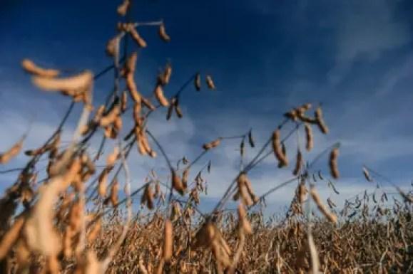 Para los productores, detrás del maíz y el trigo la soja está tercera en la expectativa de márgenes