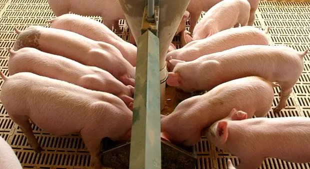 Los productores locales de cerdos alertan por subas en los costos