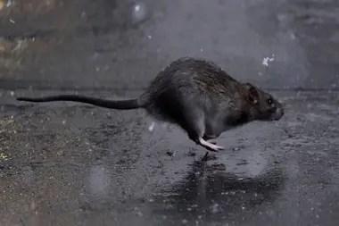 Las autoridades se comprometieron a intensificar la lucha contra los roedores en nueva York y Nueva Orleans