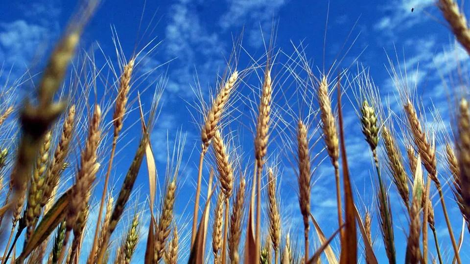 La exportación de trigo, ante un trimestre histórico foto: Archivo Anibal Greco
