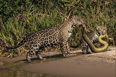 Un par de jaguares encaran a una anaconda