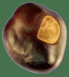 030512 one buckeye nut(1)