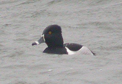 r.n.duck1-400.jpg (25591 bytes)
