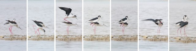 Mating sequence (BBC)