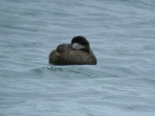 DSCN7782-Common Scoter-1000